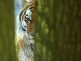 Siberian Tiger Partially Viewed Through Tree Trunks Photographic Print by Edwin Giesbers