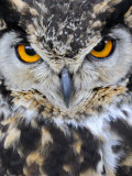 Spotted Eagle-Owl Captive, France Photographic Print by Eric Baccega
