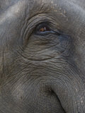 Indian Elephant Close Up of Eye, Controlled Conditions, Bandhavgarh Np, Madhya Pradesh, India Photo by T.j. Rich