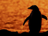 Silhouette of Gentoo Penguin at Sunset, Antarctica Photo by Edwin Giesbers