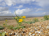 Yellow Horned Poppy Growing on Coastal Shingle Ridge, Norfolk, UK Photographic Print by Gary Smith
