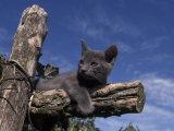 Grey Kitten Resting on Logs in Garden, Italy Photographic Print by Adriano Bacchella