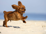 Cavalier King Charles Spaniel, Puppy, 14 Weeks, Ruby, Running on Beach, Jumping, Ears Flapping Photographie par Petra Wegner