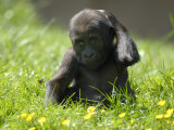Western Lowland Gorilla Female Baby Scratching Head. Captive, France Photographic Print by Eric Baccega