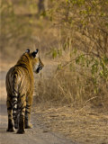 Bengal Tiger Rear View Walking Along Track in Ranthambhore Np, Rajasthan, India Photographic Print by T.j. Rich