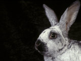 Silver of Champagne Domestic Rabbit Photo by Adriano Bacchella