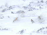 Snow Bunting on Snow Covered Mountain Side, Cairngorms, Scotland, UK Photographic Print by Andy Sands
