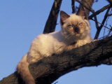 Ragdoll Cat Resting in Tree, Italy Photographic Print by Adriano Bacchella
