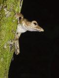Collett's Tree Frog on Tree Trunk, Sukau, Sabah, Borneo Posters by Tony Heald