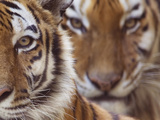 Two Siberian Tigers Portraits Photographic Print by Edwin Giesbers