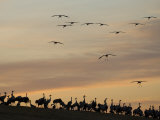 Common Cranes at Sunset, Some on Ground, with Others Landing, Hornborgasjon Lake, Sweden Photographic Print by Inaki Relanzon