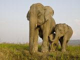 Indian Elephant Mother with 5-Day Baby and its Older Sibling, Controlled Conditions, Assam, India Photographic Print by T.j. Rich