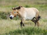 Semi Wild Przewalski Horse Stallion, Parc Du Villaret, Causse Mejean, Lozere, France Photographic Print by Eric Baccega