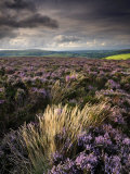 Heather and Moorland View, Near Birch Tor, Dartmoor Np, Devon, UK, August 2008 Photographic Print by Ross Hoddinott