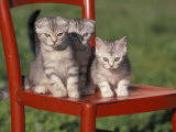 Three European Silver Tabby Kittens Sitting on Red Chair, Italy Photographic Print by Adriano Bacchella