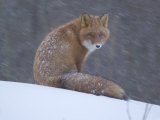 Red Fox Sitting in Snow, Kronotsky Nature Reserve, Kamchatka, Far East Russia Photo by Igor Shpilenok