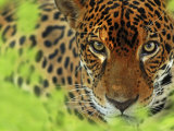 Jaguar Portrait, Costa Rica Photographic Print by Edwin Giesbers