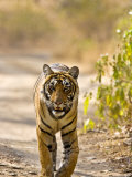 Bengal Tiger Walking on Track, Ranthambhore Np, Rajasthan, India Photographic Print by T.j. Rich