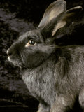Viennese Blue Domestic Rabbit Photographic Print by Adriano Bacchella