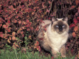 Ragdoll Cat in Garden, Italy Photographic Print by Adriano Bacchella