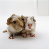 Two Baby Crested Guinea Pigs, One-Day Photographic Print by Jane Burton