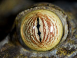 Close Up of Eye of Leaf Tailed Gecko Eye Detail, Nosy Mangabe, Northeast Madagascar Photographic Print by Inaki Relanzon