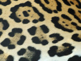 Close-Up of Jaguar Fur, Costa Rica Photographic Print by Edwin Giesbers