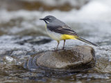 Grey Wagtail Male on Rock in Fast Flowing Upland Stream, Upper Teesdale, Co Durham, England, UK Photographic Print by Andy Sands