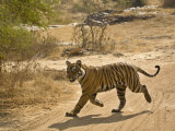 Bengal Tiger Hunting, Ranthambhore Np, Rajasthan, India Photographic Print by T.j. Rich