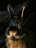 Black and Tan Domestic Rabbit Photographic Print by Adriano Bacchella