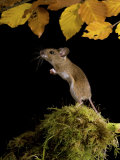 Wood Mouse Standing Up under Beech Leaves in Autumn, UK Photographic Print by Andy Sands