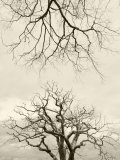 Looking Up at Branches of Dead Wych Elm Trees Killed by Dutch Elm Disease, Scotland, UK Photographic Print by Niall Benvie