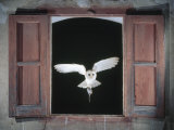 Barn Owl Flying into Building Through Window Carrying Mouse Prey, Girona, Spain Photographic Print by Inaki Relanzon