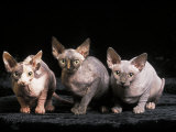 Three Hairless, Sphinx Cats Photographic Print by Adriano Bacchella