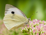 Large Cabbage White Butterfly on Sedum Flowers, UK Photo by Andy Sands