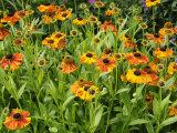 Helenium, Moerheim Beauty Variety Flowering in Summer Garden, Norfolk, UK Photo by Gary Smith
