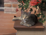 Tabby Cat Resting on Garden Terrace, Italy Photographic Print by Adriano Bacchella