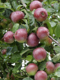 spartan' Apples on Apple Tree Norfolk, UK Photographic Print by Gary Smith