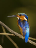 Madagascar Kingfisher on Branch Near Morondava, West Madagascar Photographic Print by Inaki Relanzon