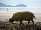 Bearded Pig Foraging on the Beach, Bako National Park, Sarawak, Borneo 2008 Photographic Print by Tony Heald