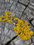 Yellow Scales Lichen Growing on Groyne, Exmoor National Park, Somerset, UK Prints by Ross Hoddinott