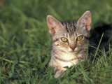 European Grey Tabby Cat in Grass, Italy Photographic Print by Adriano Bacchella