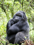 Male Silverback Mountain Gorilla Sitting, Volcanoes National Park, Rwanda, Africa Photographic Print by Eric Baccega