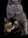 Exotic Grey Cat and Tortoiseshell Cat Mating Posters by Adriano Bacchella