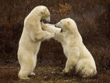 Two Polar Bears Play Fighting, Churchill, Hudson Bay, Canada Posters by Inaki Relanzon