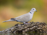 Collared Dove at Water's Edge, Alicante, Spain Photographic Print by Niall Benvie