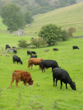 Domestic Cattle on Grazing Meadows, Peak District Np, Derbyshire, UK Photographic Print by Gary Smith