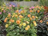Dahlia Border in Full Flower in Summer Garden, Norfolk, UK Posters by Gary Smith