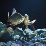 Tinfoil Barb Pair Interacting, Freshwater, from Se Asia Photographic Print by Jane Burton