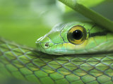Close Up of Satiny Parrot Snake, Costa Rica Photographic Print by Edwin Giesbers